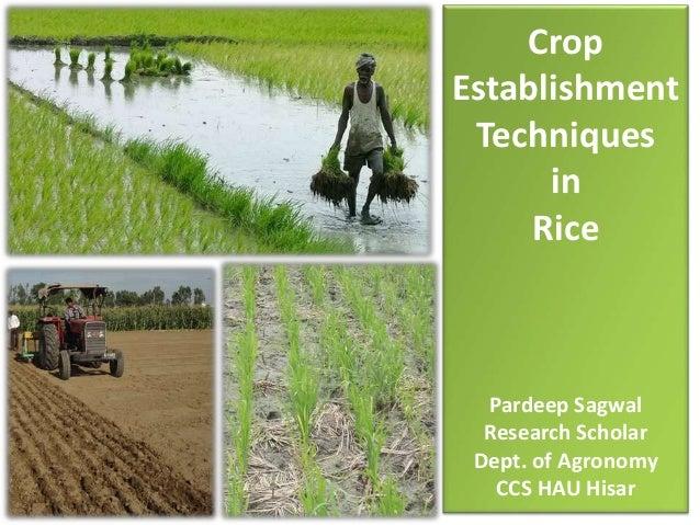 Crop Establishment Techniques in Rice Pardeep Sagwal Research Scholar Dept. of Agronomy CCS HAU Hisar