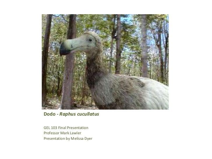 Dodo bird - raphus cucullatus