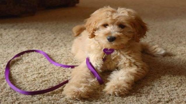 Puppy agility training