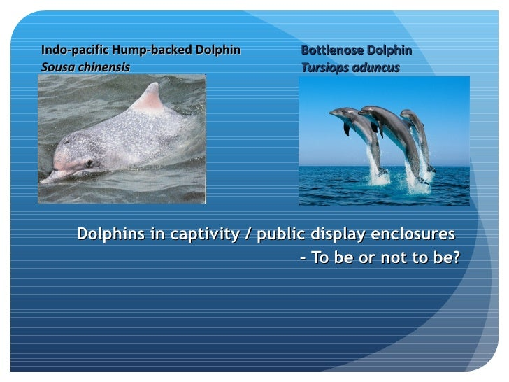 Dolphins in captivity / public display enclosures  –  To be or not to be? Bottlenose Dolphin Tursiops aduncus   Indo-pacif...