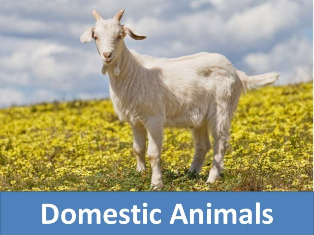 "wild and domestic animals different environment Dogs better motivated to cooperate with humans, different  animals are "" domesticated"" if genetically changed as compared to the wild  environment."
