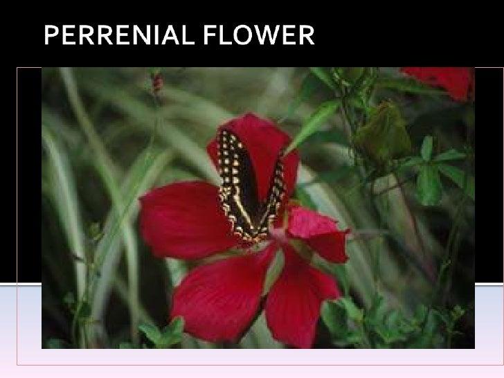 PERRENIAL FLOWER<br />
