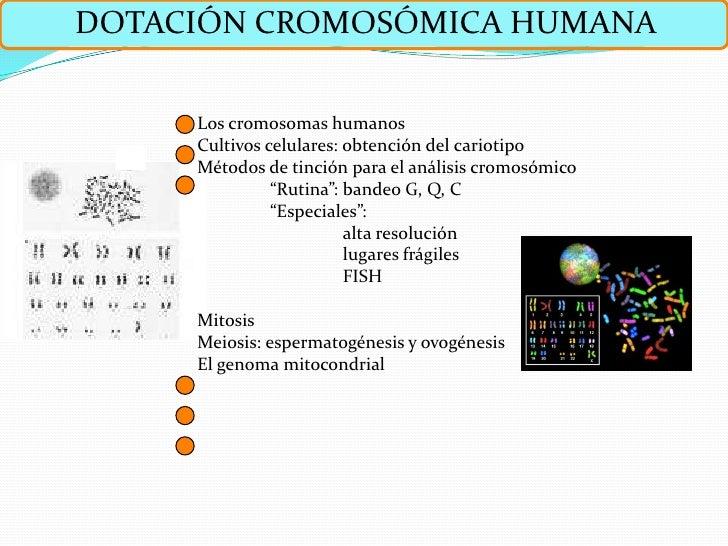 DOTACIÓN CROMOSÓMICA HUMANA       Los cromosomas humanos      Cultivos celulares: obtención del cariotipo      Métodos de ...