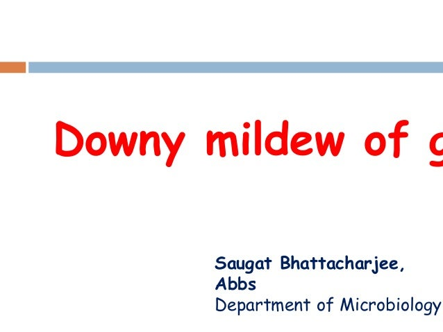 Downy mildew of g Saugat Bhattacharjee, Abbs Department of Microbiology