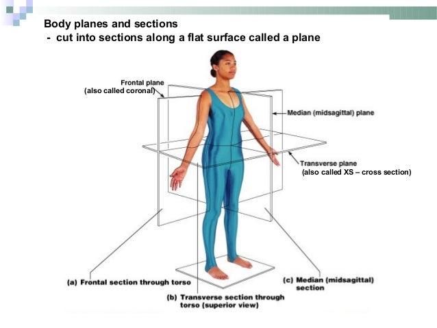 Define section anatomy