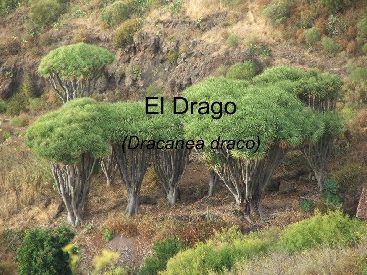 El Drago (Dracanea draco)