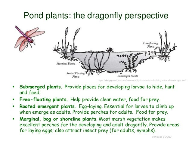 Dragonfly anatomy diagram