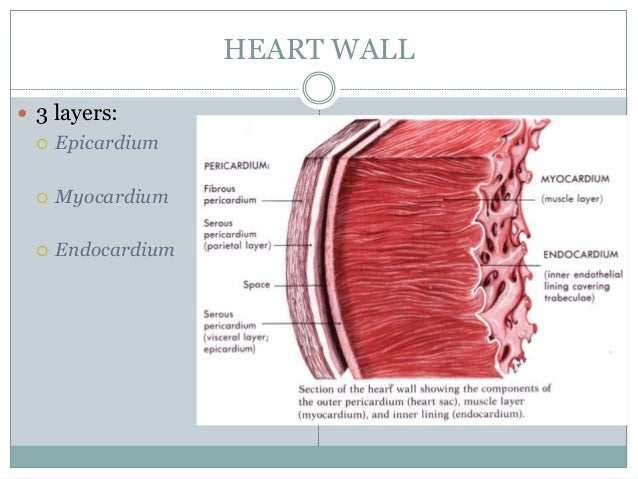 Heart chamber with the thickest wall