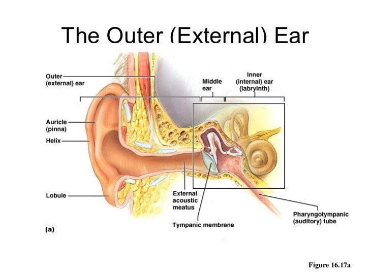 Audiology Specialists - Anatomy of the Ear