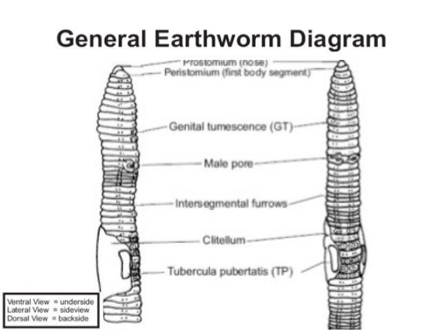 Simple earthworm diagram