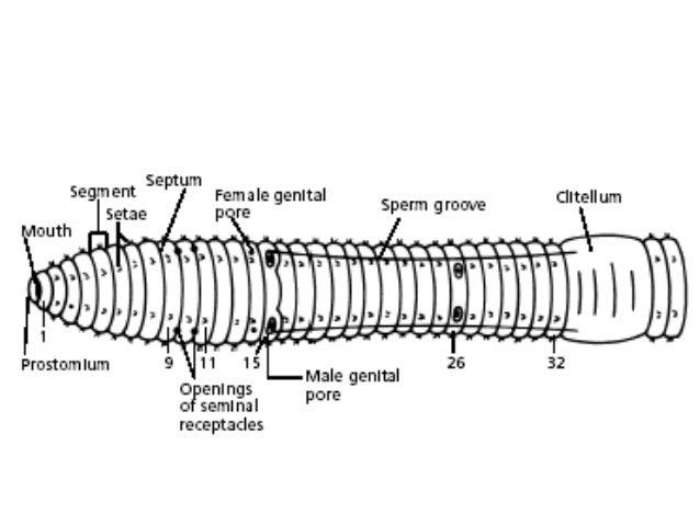 Earthworm Circulatory System