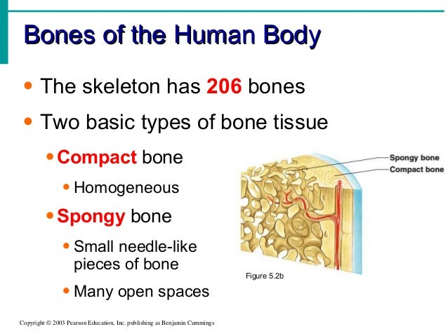bones of the human bodybones of the human body copyright