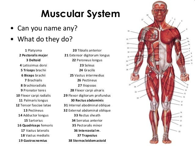 Three Types of Muscle Tissue Muscle Tissues • 3 Types of