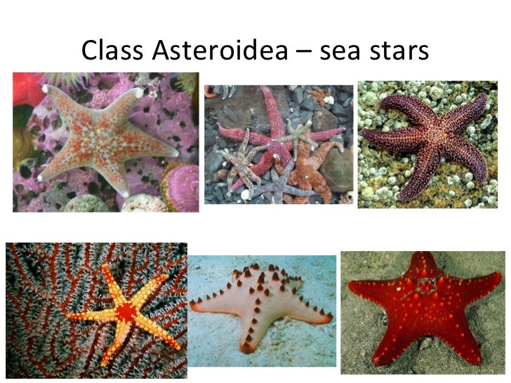Class Asteroidea Dissection