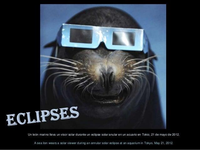 Un león marino lleva un visor solar durante un eclipse solar anular en un acuario en Tokio, 21 de mayo de 2012.    A sea l...