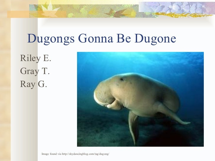 Dugongs Gonna Be Dugone <ul><li>Riley E. </li></ul><ul><li>Gray T. </li></ul><ul><li>Ray G. </li></ul>Image found via http...