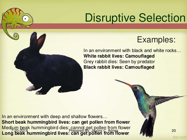 Example Of Disruptive Selection January Calendar - 23 examples natural selection work