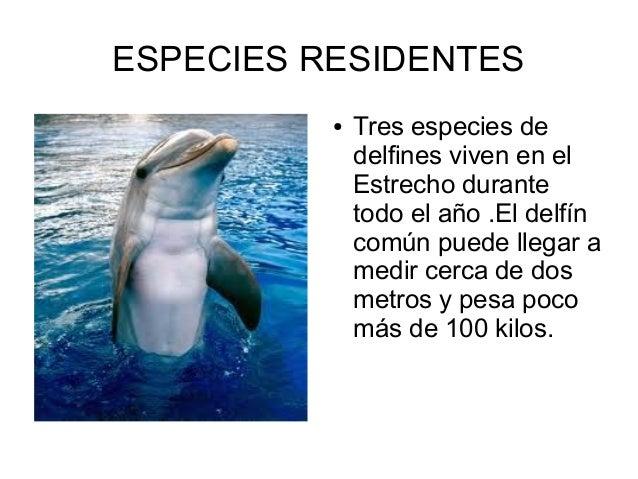ESPECIES RESIDENTES ● Tres especies de delfines viven en el Estrecho durante todo el año .El delfín común puede llegar a m...
