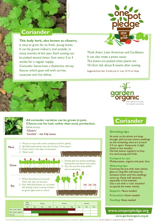 Coriander - Organic Growing Guides for Teachers + Students