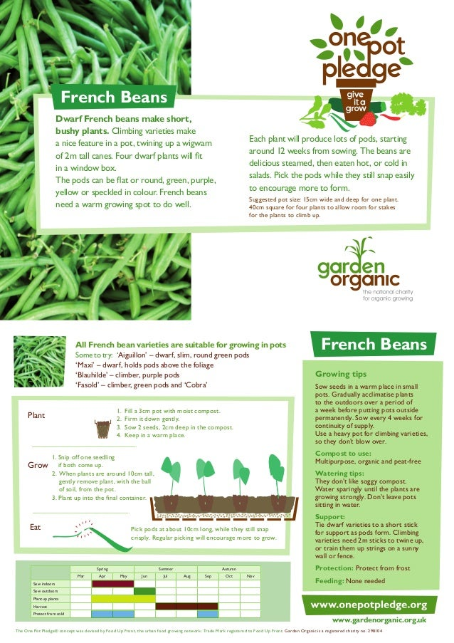 French Beans - Organic Growing Guides for Teachers + Students