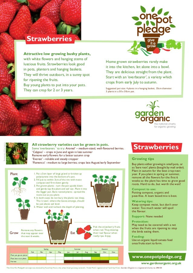 Strawberries Attractive low growing bushy plants, with white flowers and hanging stems of luscious fruits. Strawberries lo...