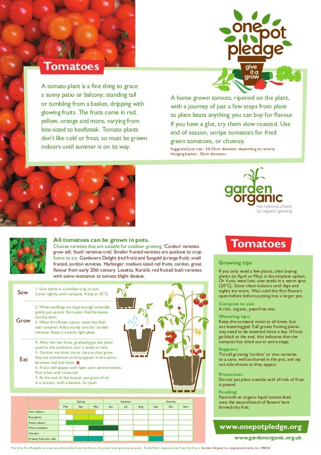 Tomatoes A tomato plant is a fine thing to grace a sunny patio or balcony; standing tall or tumbling from a basket, drippi...