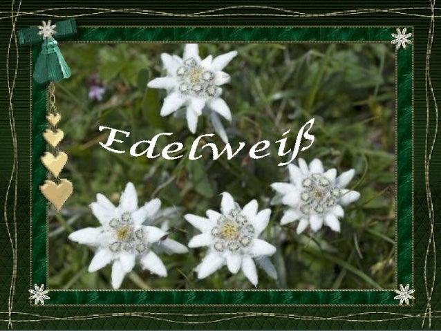 EdelweißNationalblumevon Österreich,seit 1886 unterNaturschutz,gedeiht in Höhenvon 1800-3000m