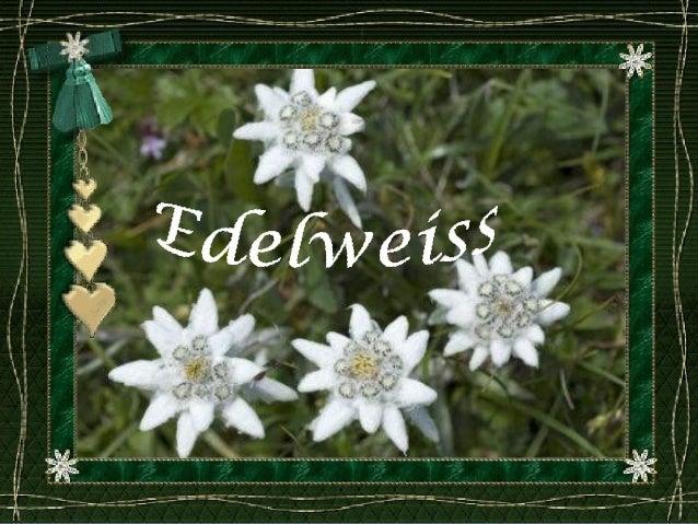 Edelweiss d'Autriche, fleur nationale depuis 1886 sous protection, se développe entre 1800-3000 m d'altitude