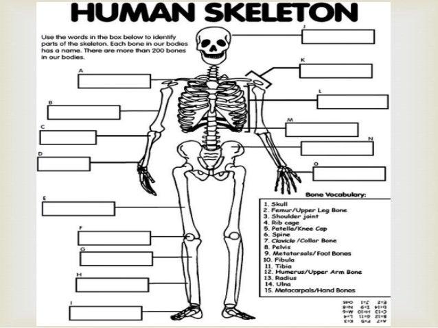 the skeletal system  nellz10186
