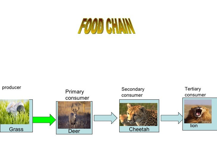 Lion Food Chain Diagram