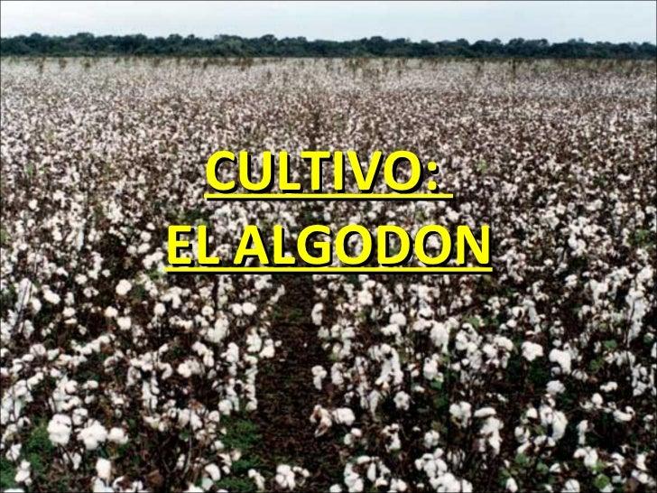 CULTIVO:  EL ALGODON
