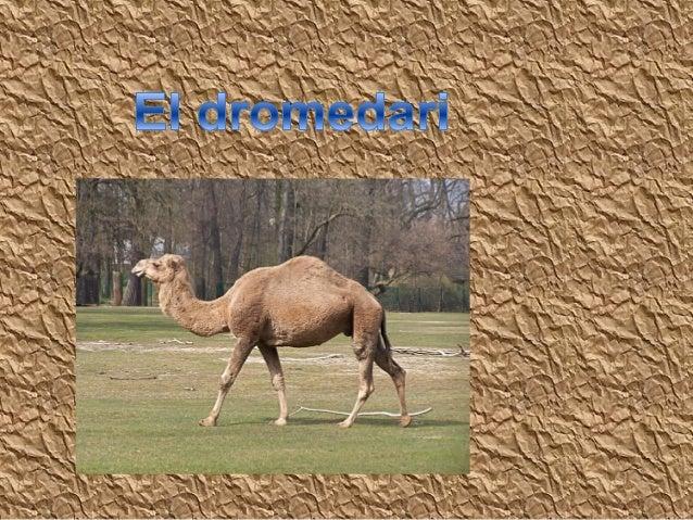 El dromedari viu als deserts del nord d'Àfrica.