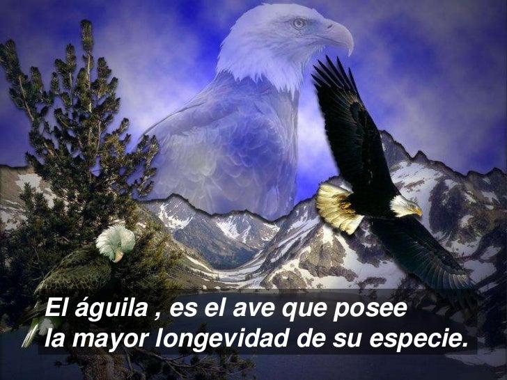 El águila , es el ave que poseela mayor longevidad de su especie.
