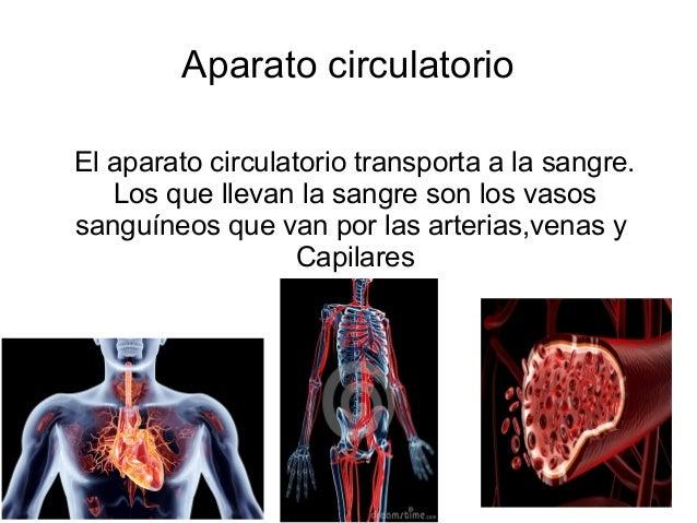 Aparato circulatorio El aparato circulatorio transporta a la sangre. Los que llevan la sangre son los vasos sanguíneos que...