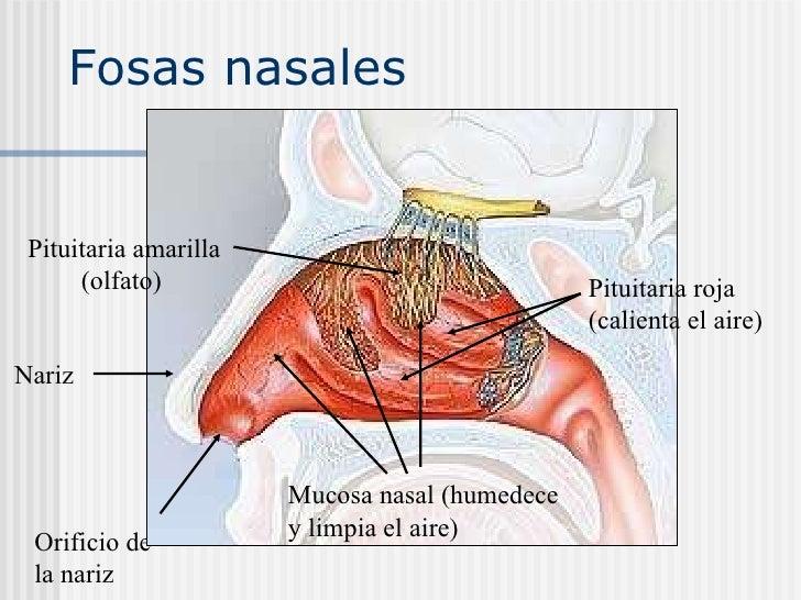 Olfato - Anatomía del Sistema Nervioso