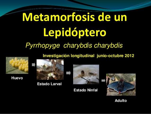 Metamorfosis de un       Lepidóptero        Pyrrhopyge charybdis charybdis              Investigación longitudinal junio-o...