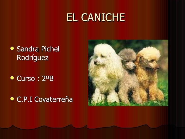 EL CANICHE <ul><li>Sandra Pichel Rodríguez </li></ul><ul><li>Curso : 2ºB </li></ul><ul><li>C.P.I Covaterreña </li></ul>