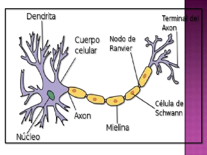 Dibujo de neurona para colorear - Imagui