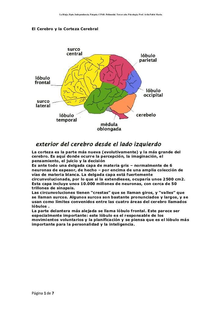 El Cerebro y la Corteza Cerebral<br />La corteza es la parte más nueva (evolutivamente) y la más grande del cerebro. Es aq...