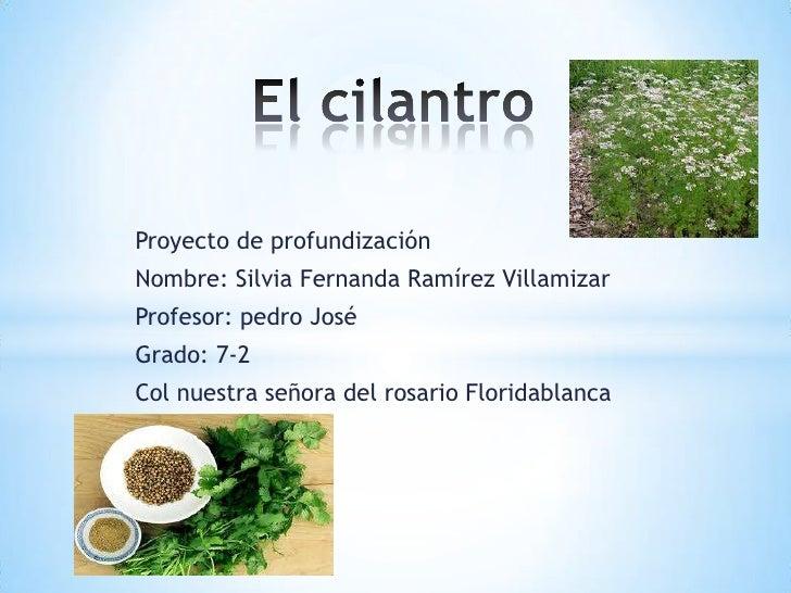 El cilantro