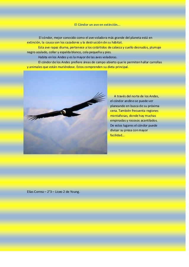 El Cóndor un ave en extinción...        El cóndor, mejor conocido como el ave voladora más grande del planeta está enextin...