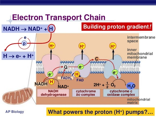 biology cell and electron transport chain If the amount of o2 in a cell were to suddenly decrease, what would happen to the functioning of the electron transport chain would atp.