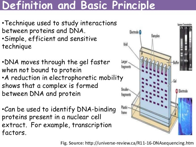 electrophoretic mobility shift assay principle The electrophoretic mobility shift assay (emsa) was established as a method to  detect dna binding proteins (fried & crothers, 1981) the principle being that a.
