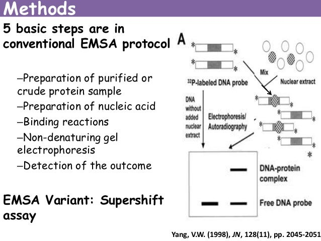 electrophoretic mobility shift assay supershift Electrophoretic mobility shift assay (emsa) by using biotins to detect protein-dna interactions hao chen introduction electrophoretic mobility shift assay (emsa) is based on the simple.