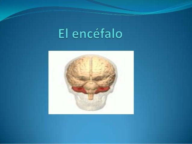 El Encéfalo  El encéfalo es la masa nerviosa contenida dentro del cráneo.  Está envuelta por las meninges, que son tres m...