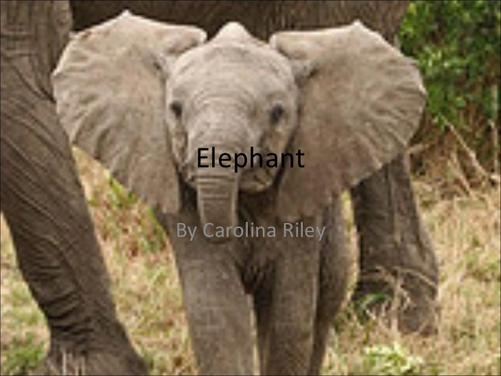 Elephant By Carolina Riley