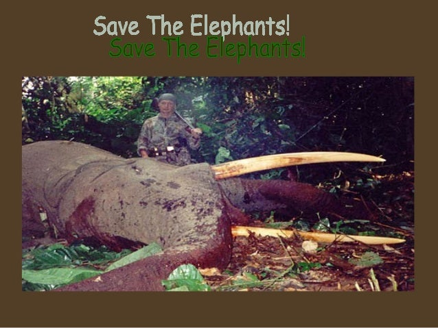 Elephant Tusks• These are elephant  tusks. There are  African gangs poaching  elephants for money!• African gangs are  wip...