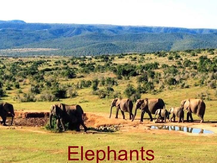 Elephants-Majestic Giants