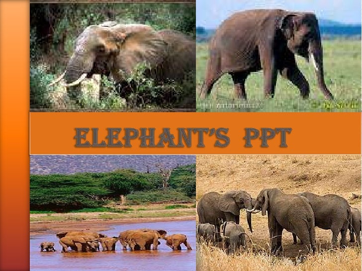Elephants THERE ARE TWO TYPES OF ELEPHANT.INDIAN ELEPHANTS ARE SMALLER THAN    AFRICAN ELEPHANTS. AFRICAN  ELEPHANTS ARE T...
