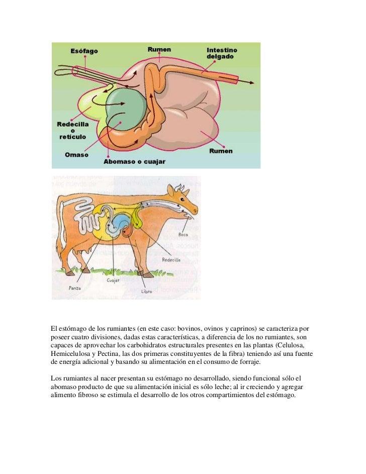 El estómago de los rumiantes (en este caso: bovinos, ovinos y caprinos) se caracteriza porposeer cuatro divisiones, dadas ...